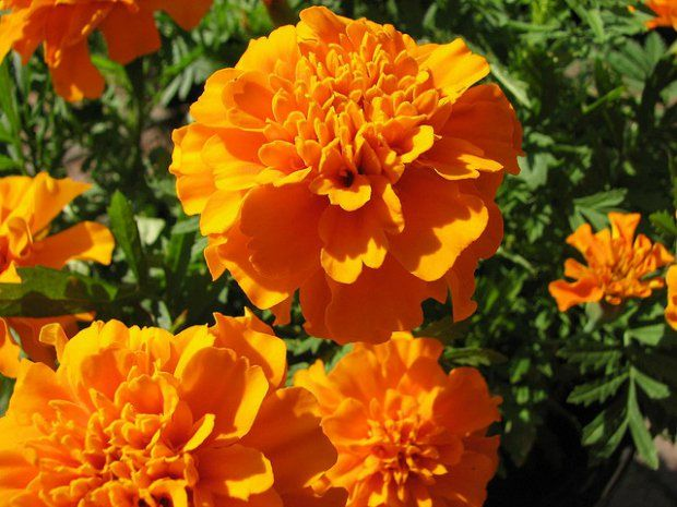 The Role Marigolds Play in Dia de los Muertos (With images) | Dia ...