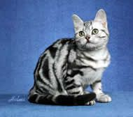 American Shorthair Cat Breed Profile I Love The Light Grey With