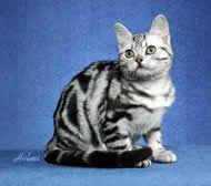 American Shorthair American Shorthair Cat All Cat Breeds Cat Breeds