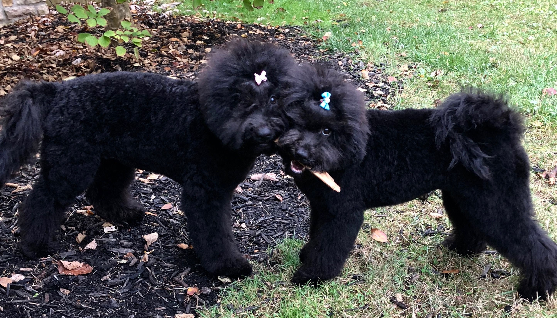 pulilove Puli dog, Doggy, Dogs