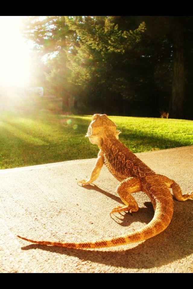 Ozzy my bearded dragon. Photography by Monica   Bearded Dragons ...