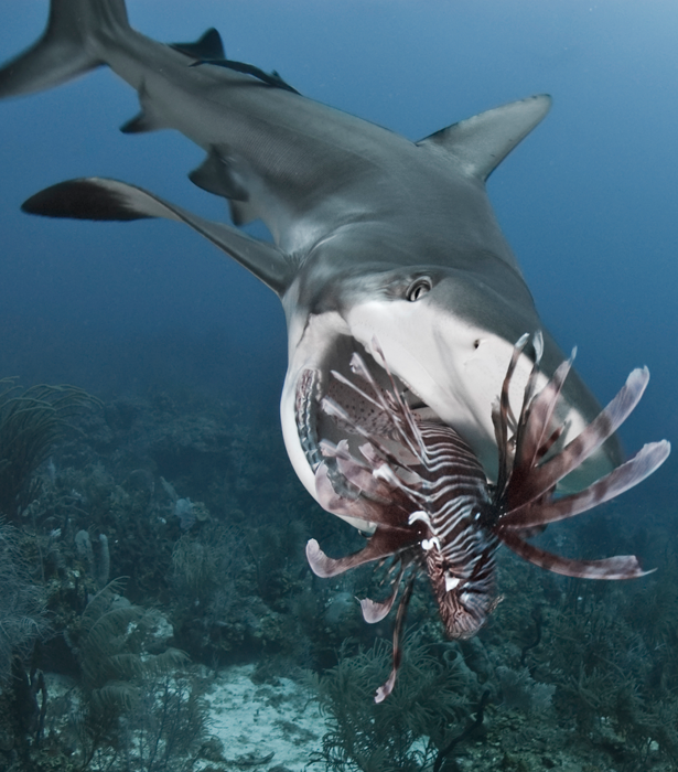 Trained shark kills lionfish shark shark s and venom those lionfish are beautiful but we dont like them here glad the shark had a good munch and avoided those spines altavistaventures Image collections