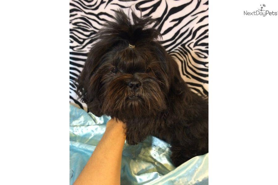 I Am A Cute Shih Tzu Puppy Looking For A Home On Nextdaypets Com Shih Tzu For Sale Shih Tzu Shih Tzu Puppy