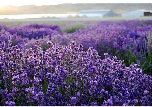 Pretty Lavender Field Beautiful Flowers Pictures Lavender Fields Lavender Flowers