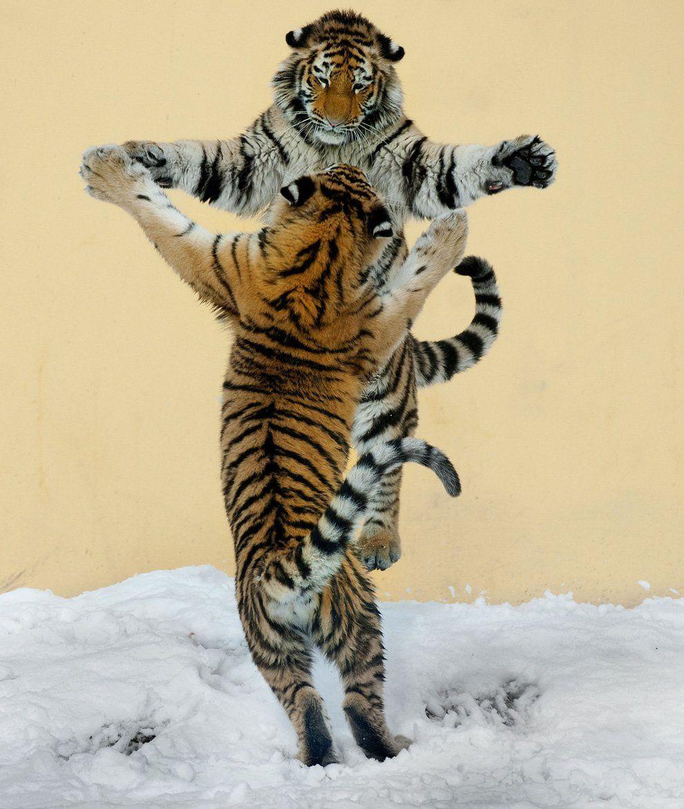 Тигрица прикольные картинки