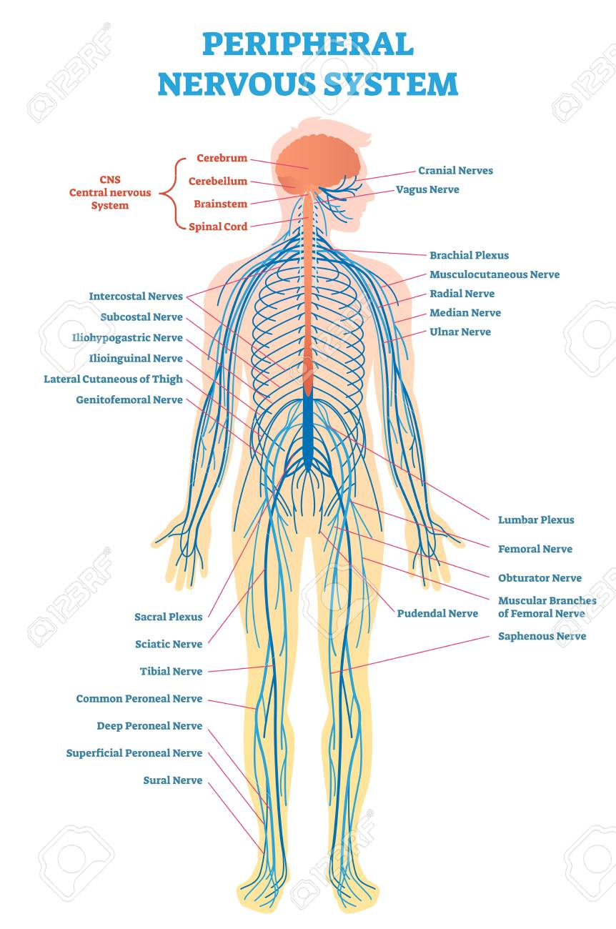Peripheral Nervous System Medical Vector Illustration Diagram Peripheral Nervous System Human Nervous System Nervous System