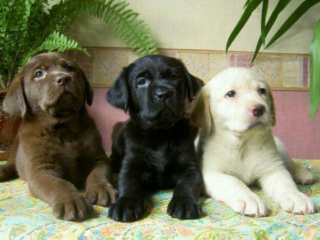 Braun Black And White Lab Puppies Lab Dogs Labrador