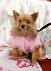Cricket Is An Adoptable Yorkshire Terrier Yorkie Dog In Manchester Nh 3 17 13cricket Is An Appx 5 6 Year Old Female P Yorkie Mix Yorkie Dogs Yorkie