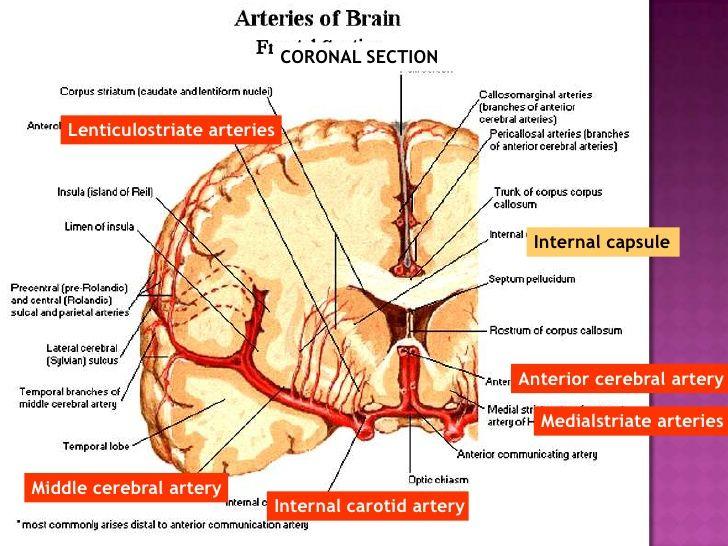 capsula interna anatomy - Google Search | Anatomija CNS i sindromi ...
