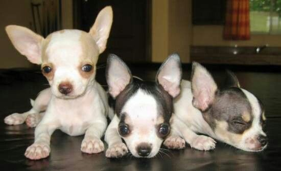 Chihuahua Love Chihuahua Love Cute Chihuahua Really Cute Puppies