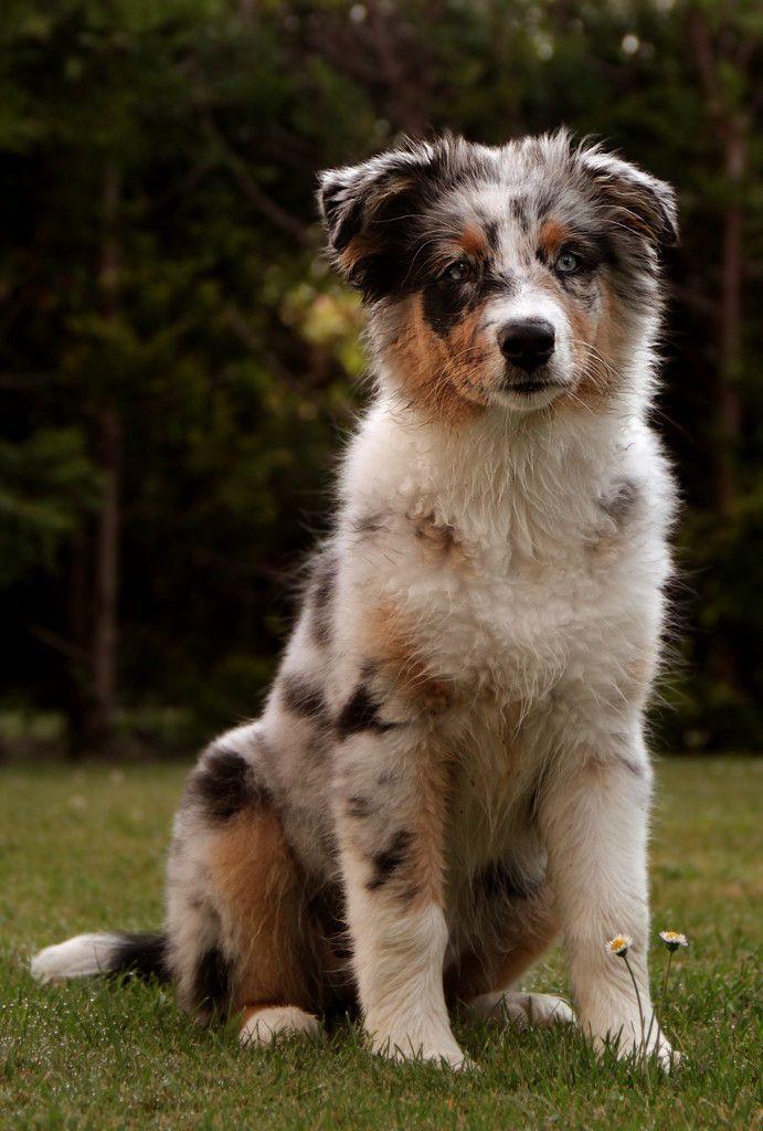 Australian Shepherd Smart Working Dog Australischer