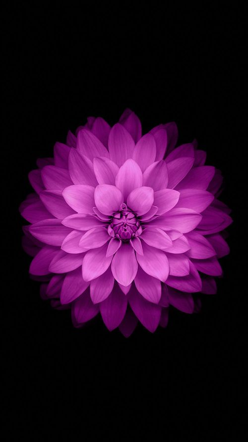 Purple Flowers Iphone Official Wallpaper Flower Iphone Wallpaper Retina Wallpaper Iphone 6 Wallpaper