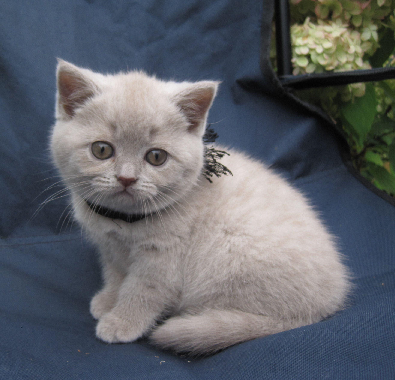 Britse Korthaar Kitten Cute Cats And Kittens Cute Cats Kittens And Puppies