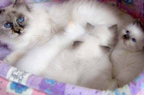 Birman n Kittens sooo fluffy Hello cute, American