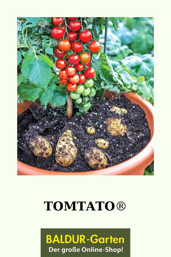 Tomtato Pflanztomtato Pflanze Kaufen Baldur Gartene Kaufen Kartoffelpflanzen Pflanzen Und Garten