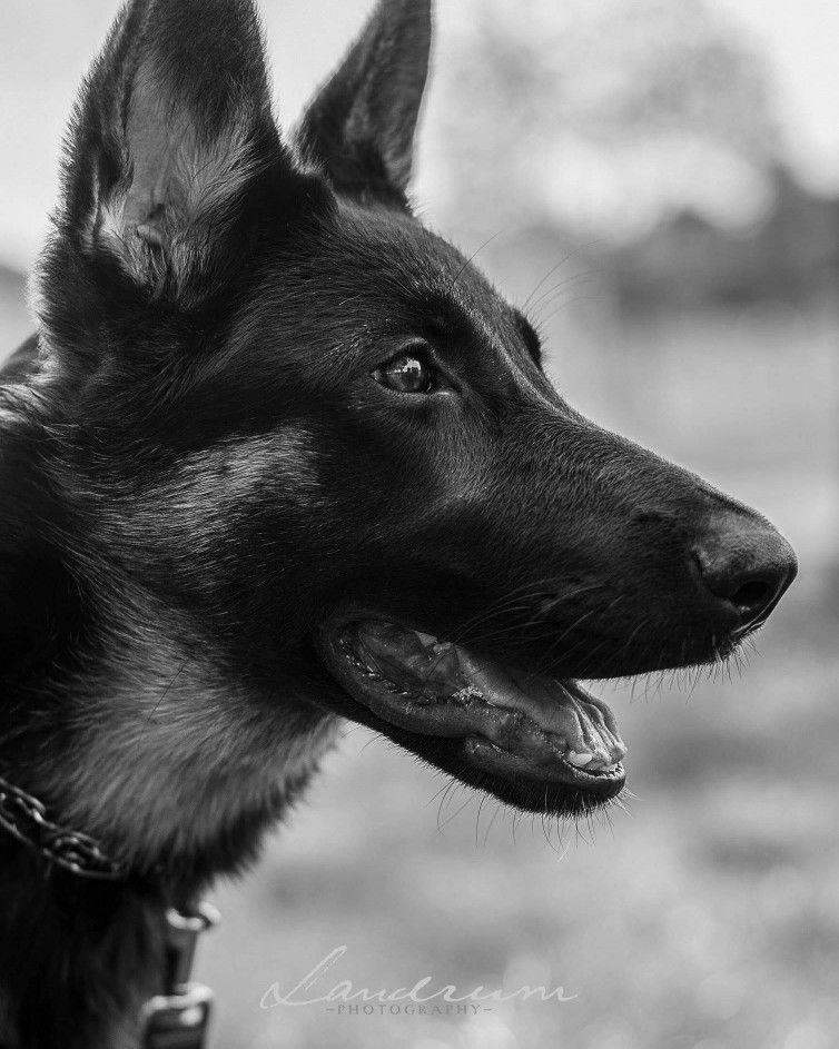 I LOVE German Shepherds!! Taken by Landrum Photography at