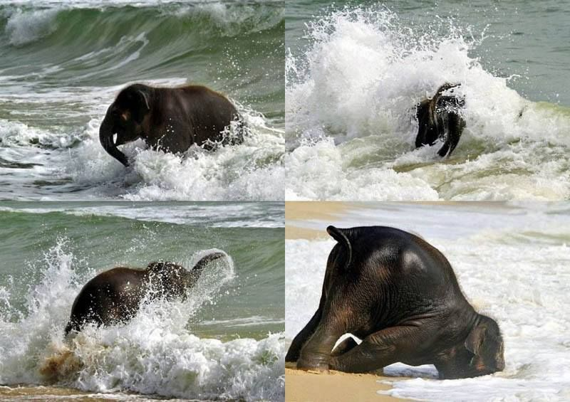 A baby elephant's first trip to the ocean...from INature ...