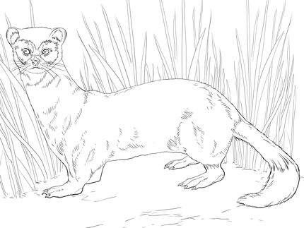 Black Footed Ferret Coloring Page Supercoloring Com Animal Coloring Pages Ferret Colors Coloring Pages