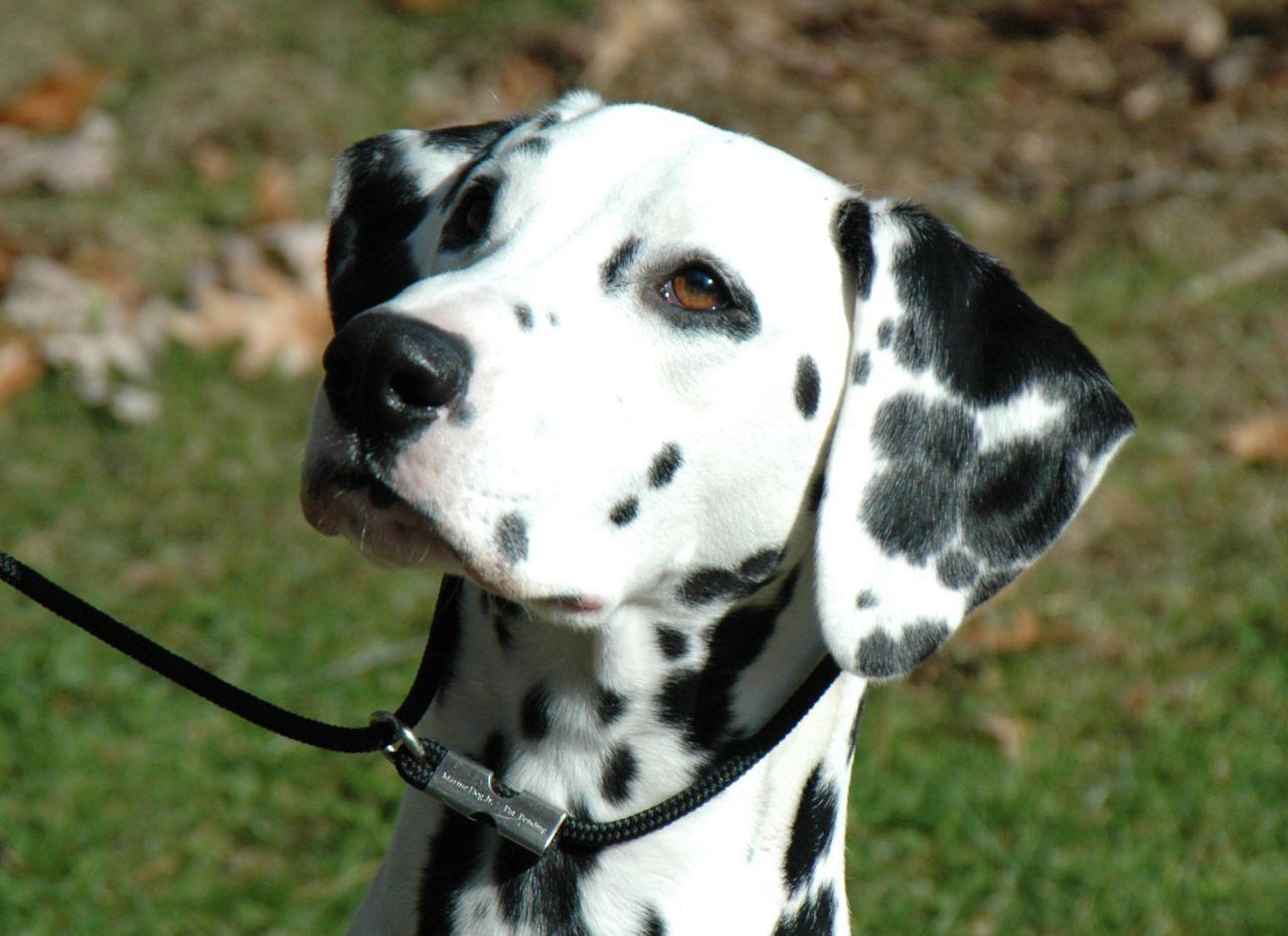 Female Dalmatian Puppy .