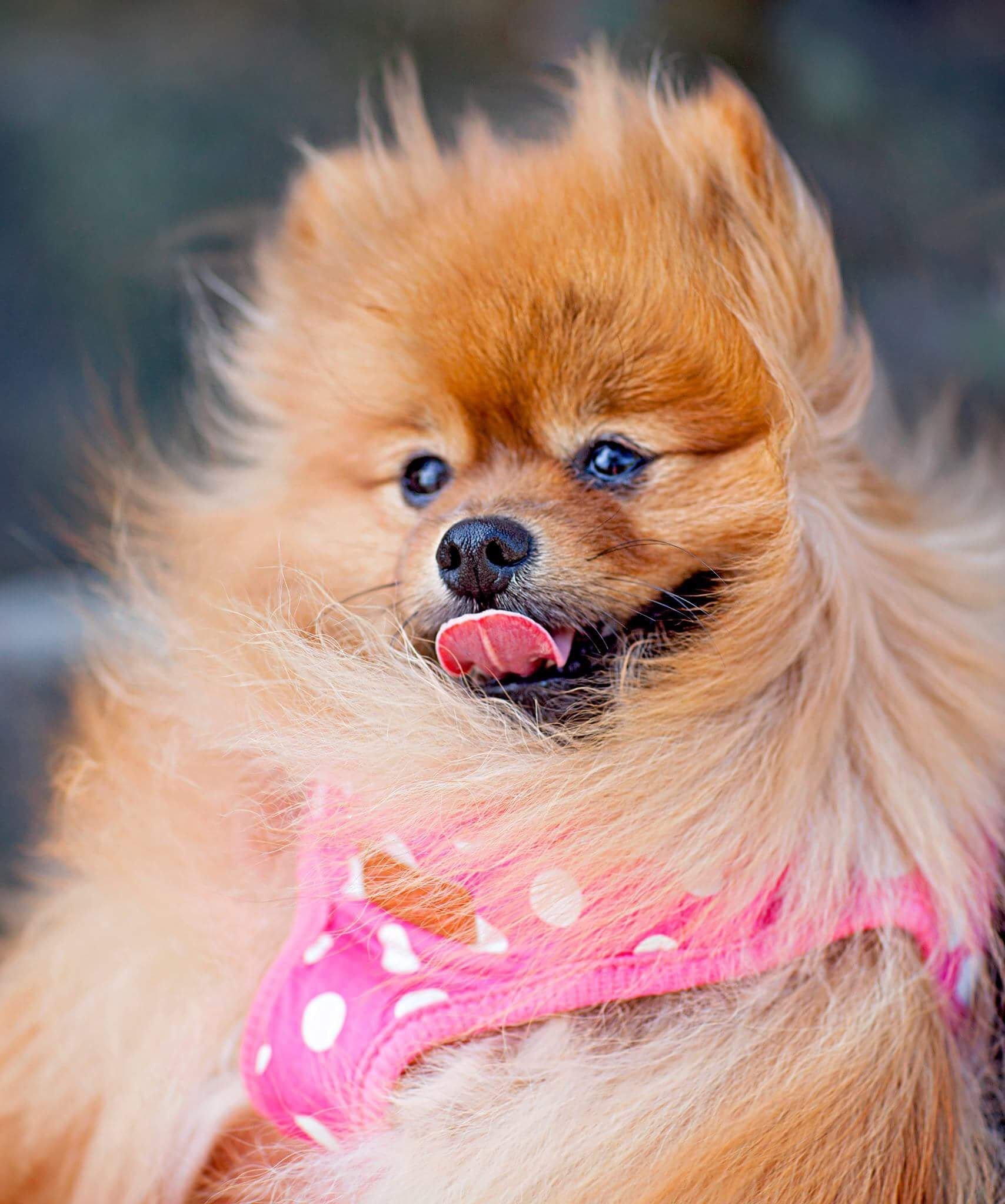 35 Cutest Pomeranian Puppies In 2020 Training Your Dog Cute Small Dogs Cute Dogs