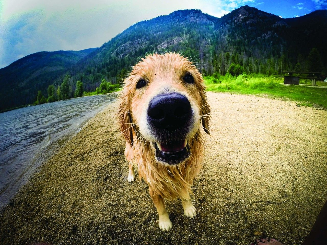 Why Are Golden Retrievers More Susceptible To Cancer Find Out