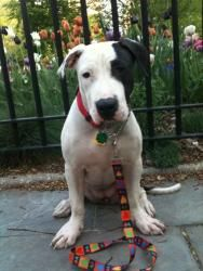Mela is an adoptable Pit Bull Terrier Dog in Brooklyn, NY. Mela is only a 9 month old baby and already a DEATH ROW SURVIVOR! She such a sweet playful gal! LOVES EVERYBODY PLUS ALL DOGS AND VERY CAT FR...
