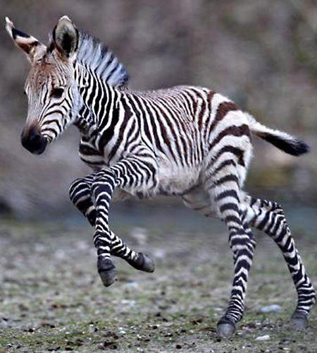 Zebra foal.Please check out my website thanks. www.photopix.co.nz