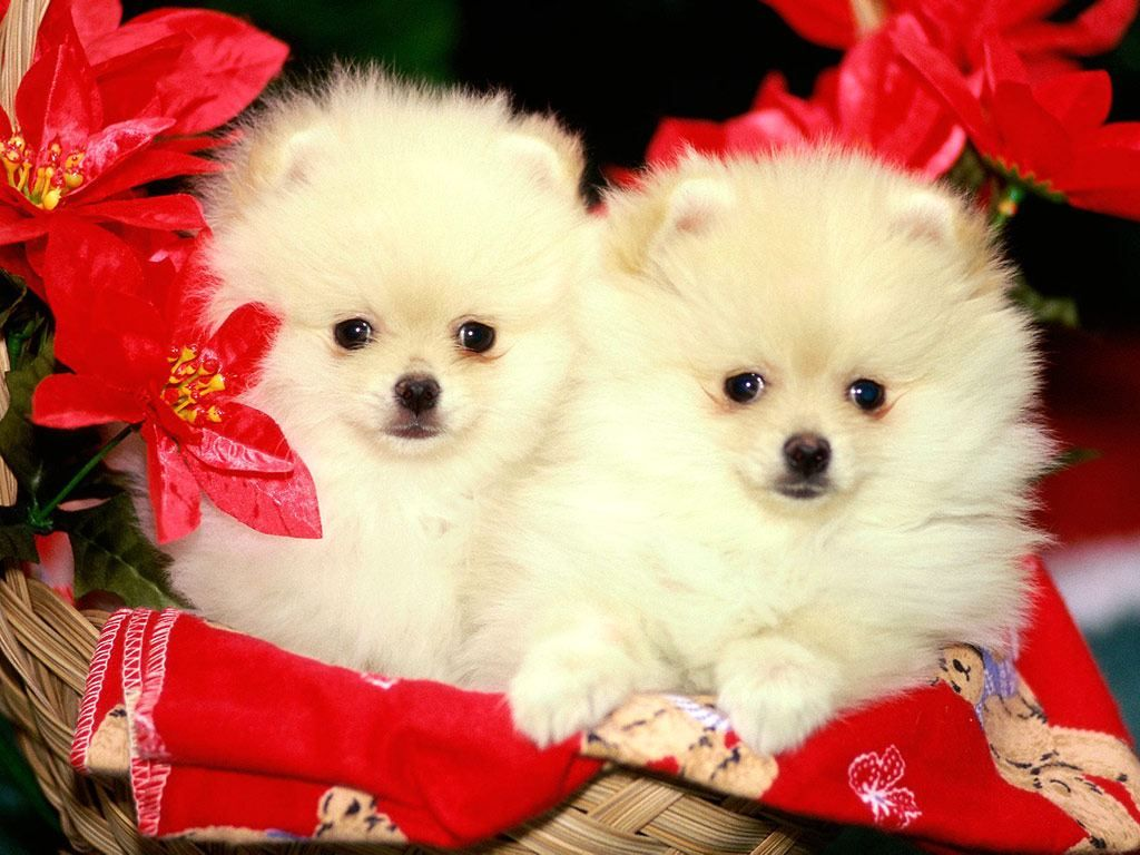Too Cute Cute Dog Wallpaper Cute White Puppies Christmas Puppy