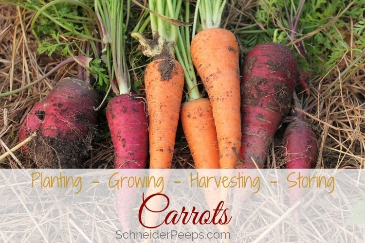 Ultimate Guide To Growing And Using Carrots Companion 400 x 300
