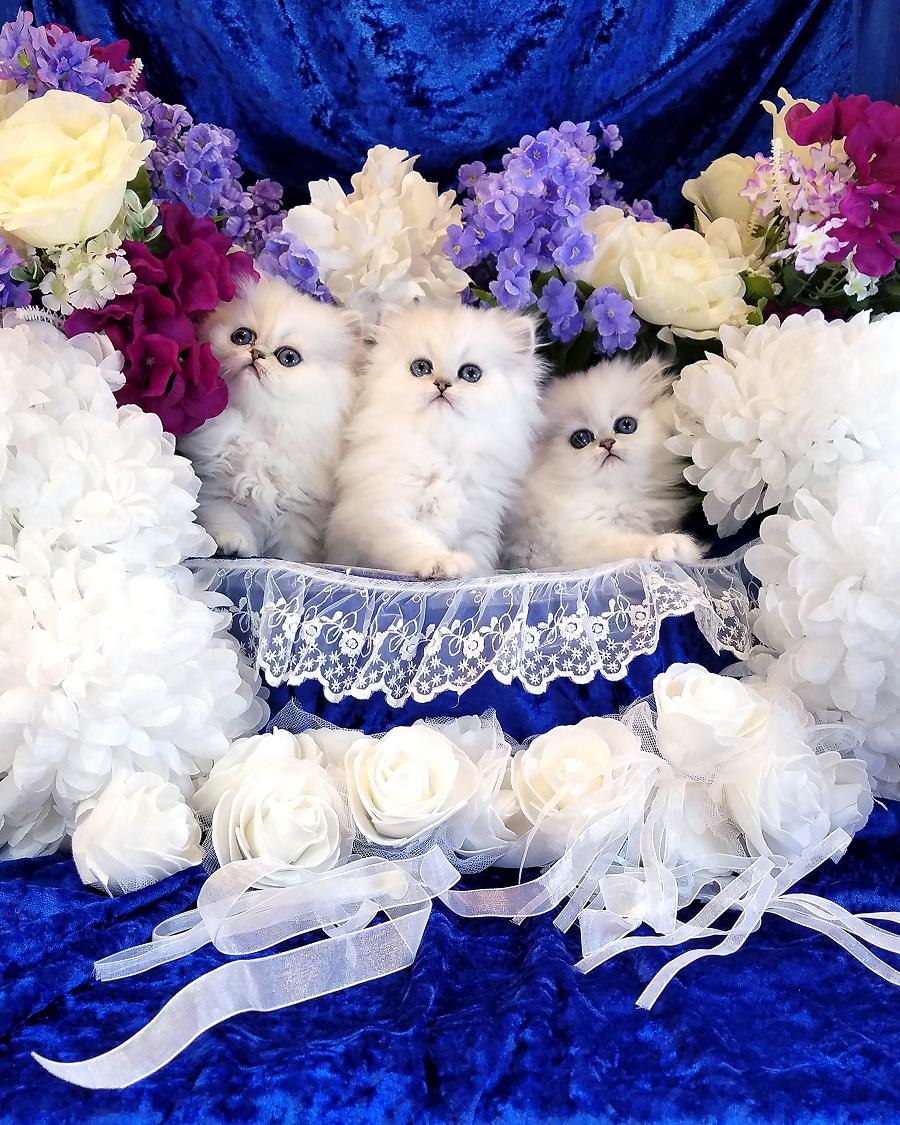 Tiny Persians