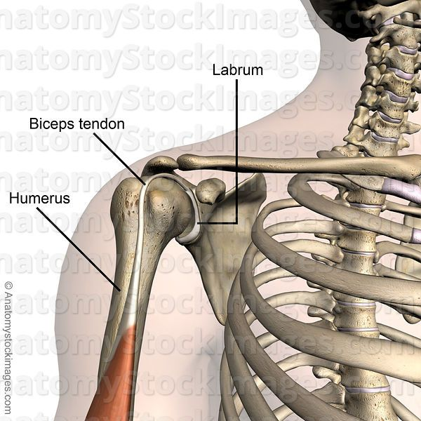 Labrum & biceps tendon (SLAP lesion) | anatomy shoulder | Pinterest ...