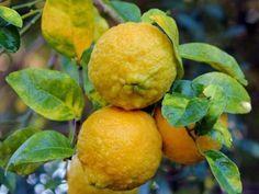 Pflegefehler bei Zitruspflanzen #hortensienvermehren