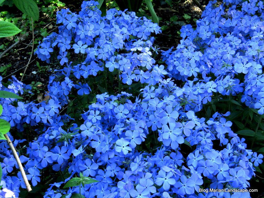 Blue moon blue phlox a gorgeous spring perennial that grows blue moon blue phlox a gorgeous spring perennial that grows upwards to 12 izmirmasajfo Images