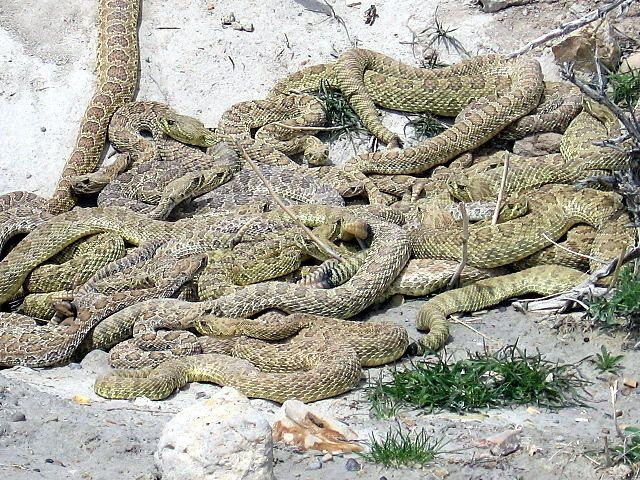 Rattlesnake nest 05 | Rattlesnake, Snake, Palo duro canyon texas