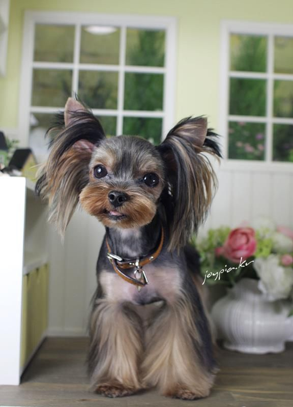 yorkshire terrier grooming style images | Korean Dog Grooming Style ...