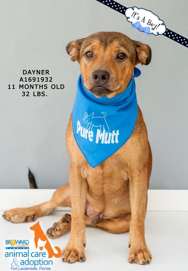 Dayner A1691932 Male 11 Months 32 Lbs For Adoption At Broward County Animal Care Fort Lauderdale F Pet Care Adoption Broward County