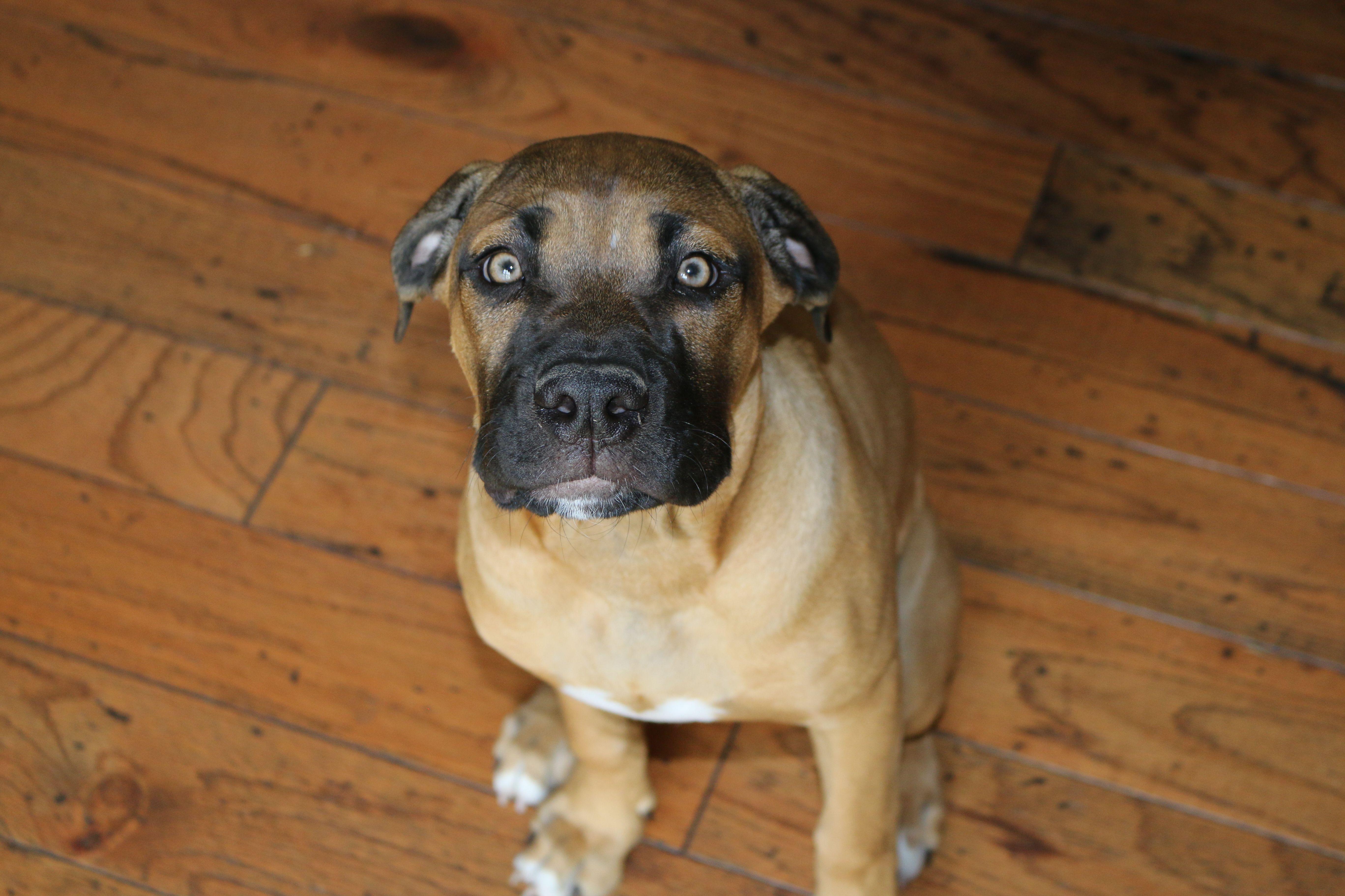 Italian Mastiff Boxer Mix Cane Corso