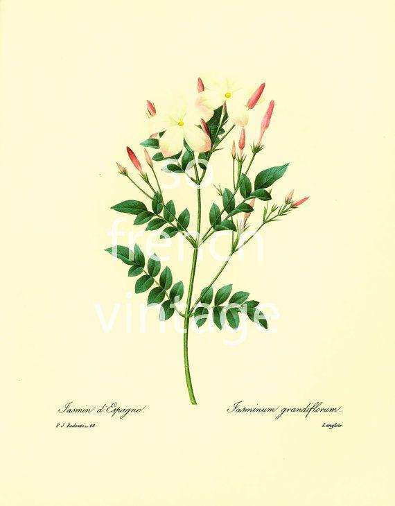 Jasmine jasminum grandiflorum Large Size Illustration Pierre Joseph ...