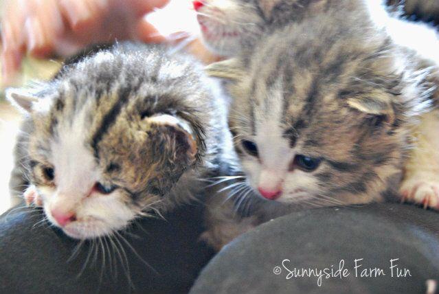Bottle Fed Kittens Kitten formula, Kittens, Kitten