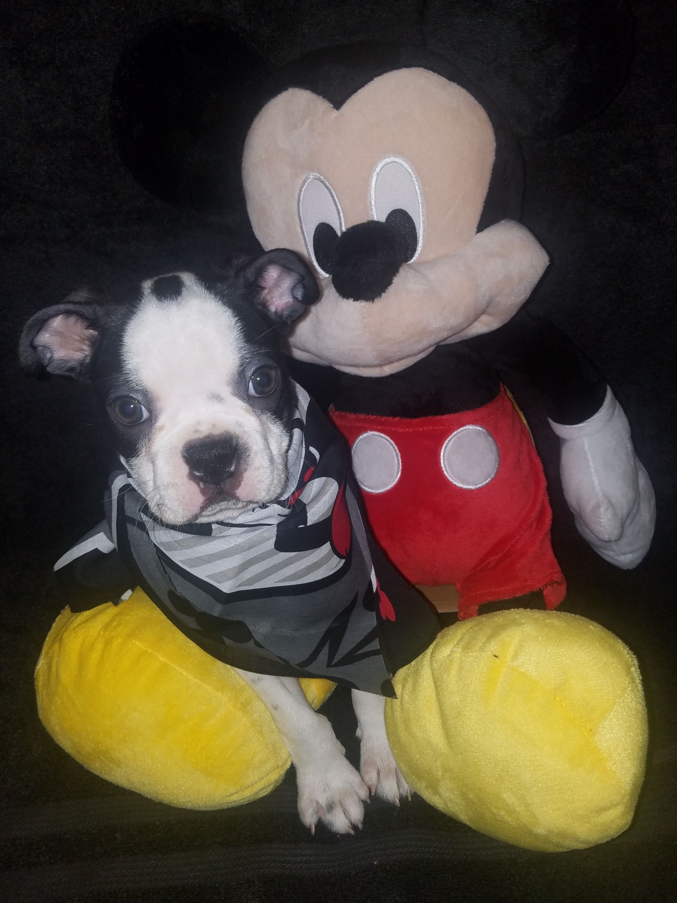 Scooter AKC Pembroke Welsh pupper for sale at