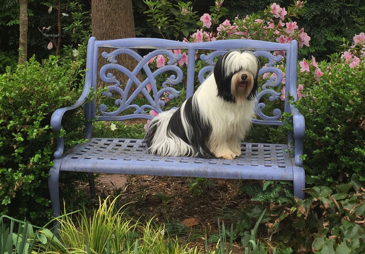 Tibetan Terrier Puppies For Sale Minneapolis Mn Terrier Puppies Tibetan Terrier Terrier