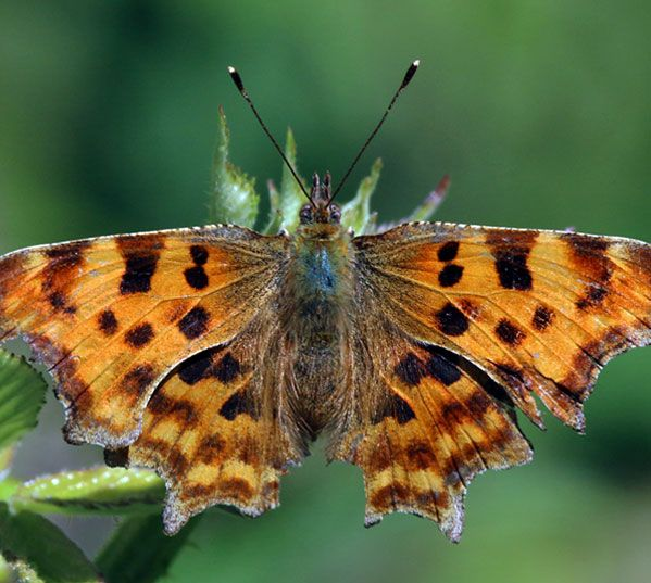 C Falter Falter Schmetterling Insekten
