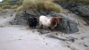 Highland cows on the beach