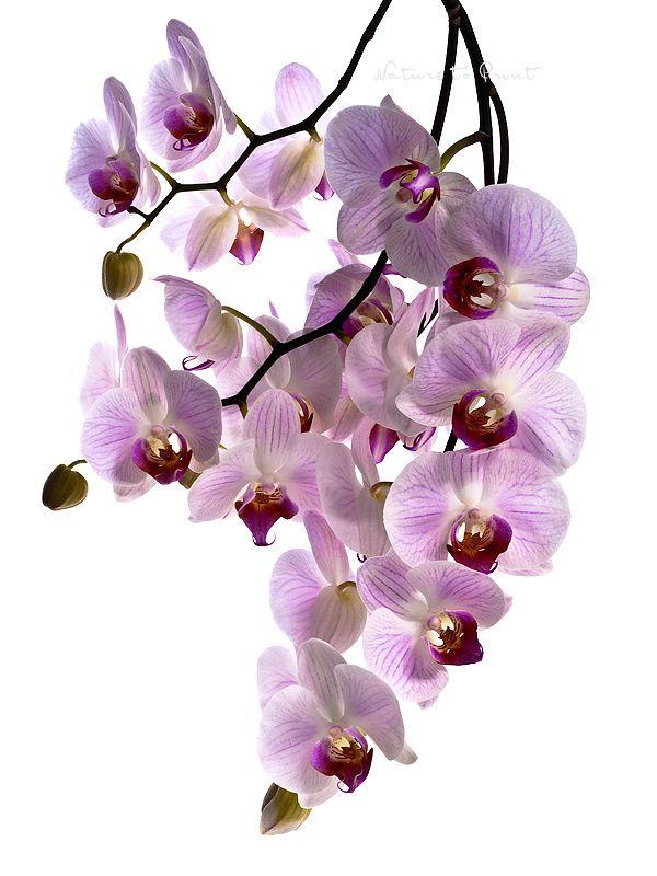 Blumenbild auf Leinwand oder Kunstdruck rosa Orchideen