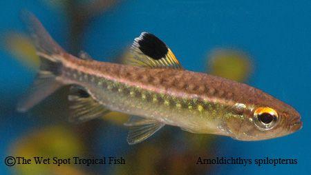 "Arnoldichthys spilopterus ""African Red Eye Tetra"""
