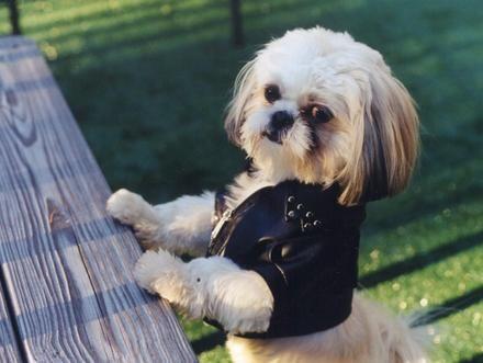 Shih Szu So Cute Shih Tzu Shih Tzu Dog
