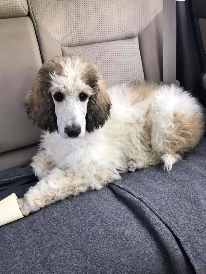 Pearl Sable Parti Standard Poodle Poodle Big Dogs I Love Dogs