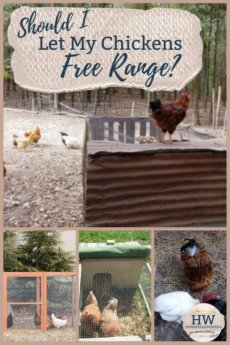 Should I Let my Chickens Free Range?   Free Range VS ...