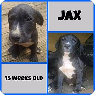 Matawan Nj American Staffordshire Terrier Labrador Retriever Mix Meet Jax A Puppy For Adoption Http Www Adoptapet C Kitten Adoption Puppy Adoption Pets