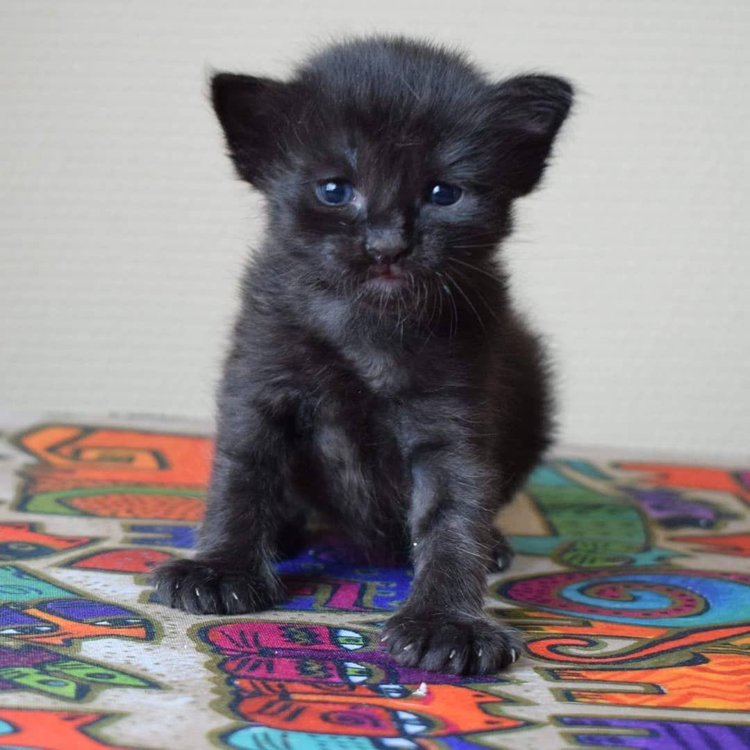 Hack Little Gremlin 3 Weeks X1f601 8211 8211 Another Black Boy Little Gremlin 3 Weeks Threeweekoldkitten Blackkitten Kitten Kittens Cute Ado